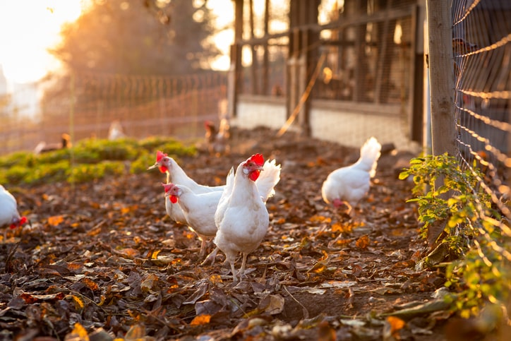 Namibia implements total ban on SA poultry